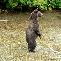 Brown Bear Standing Alaskan Kodiak