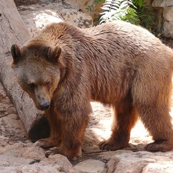 Brown Bear Syrian Ursus arctos (2)