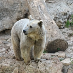 Brown Bear Syrian Ursus arctos rocks