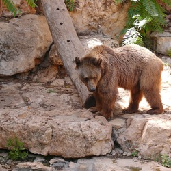 Brown Bear Syrian Ursus arctos