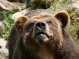 Brown Bear Ursus Grizzly arctos