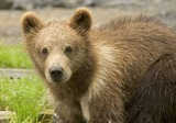 Brown Bear Photo Gallery