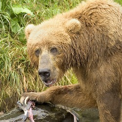 Brown Bear Ursus arctos Feeding Salmon (2)