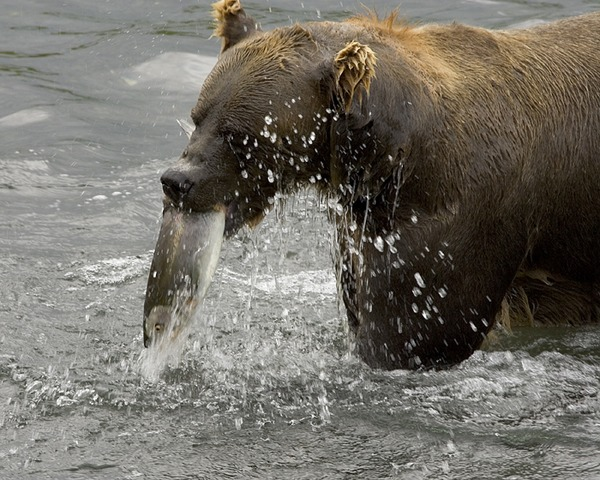 Brown Bear Ursus arctos Feeding Salmon