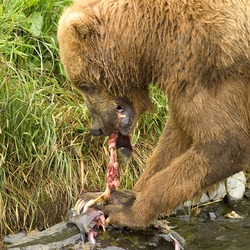 Brown Bear Ursus arctos Feeding on Salmon