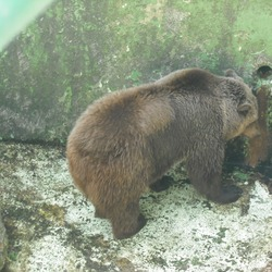 Brown Bear Ursus arctos Zagreb Zoo