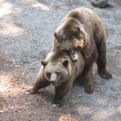 Brown Bear Ursus arctos mating