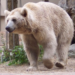 Brown Bear Ursus arctos syriacus