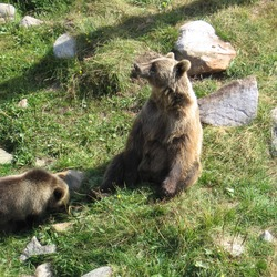 Brown Bear Ursus_arctos Grizzly (2)