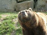Brown Bear grizzly Ursus arctos