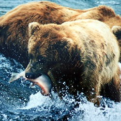 Brown Bear grizzly fishing salmon