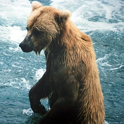 Brown Bear wet swim Ursus arctos