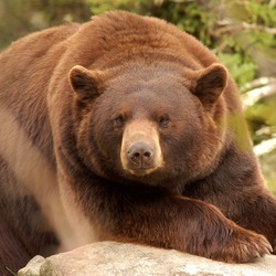 Cinnamon Brown Bear