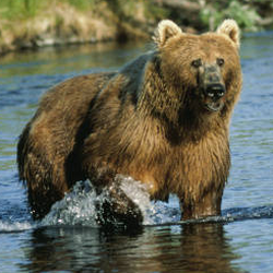Kodiak Bear Dog_ Salmon Creek