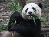 Giant Panda Bear  bamboo Eating