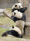 Giant Panda Bear Ailuropoda melanoleuca Playing