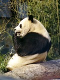 Giant Panda Bear Ailuropoda melanoleuca eating