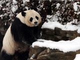 Mei Xiang - Washington, DC ... February 3, 2010 ... Photo by Rob Page III