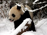 Tai Shan enjoys his final day in DC - Washington, DC ... February 3, 2010 ... Photo by Rob Page III