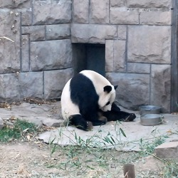 Giant Panda Bear Beijing Zoo (2)