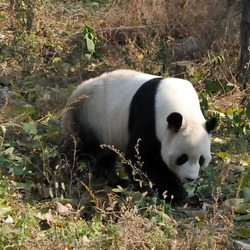 Giant Panda Bear Beijing Zoo (3)