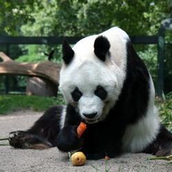 Giant Panda Bear Berlin Bao Bao eating