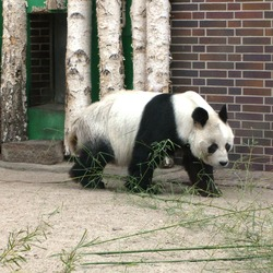 Giant Panda Bear Berliner Zoo Bao-Bao