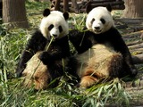 Giant Panda Bear Chengdu eating