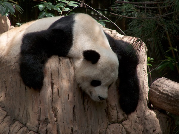 Giant Panda Bear Gao Gao relaxing