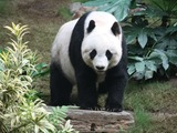 Giant Panda Bear Grosser Panda
