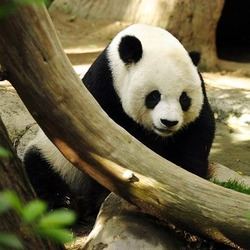 Giant Panda Bear Lightmatter_panda
