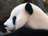 Giant Panda Bear Panda_profile