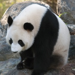 Giant Panda Bear Sitting_panda