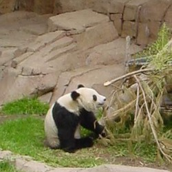 Giant Panda Bear _eating_Bamboo
