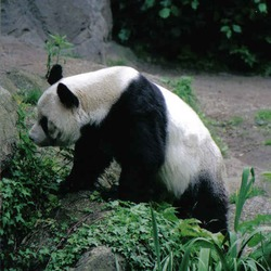 Giant Panda Bear bao bao germany