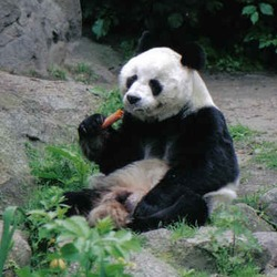 Giant Panda Bear baobao eating