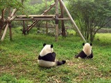 Giant Panda Bear black white
