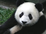 Giant Panda Bear cub Wolong ichuan China
