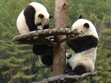 Giant Panda Bear cubs playing tree