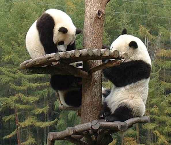 Giant Panda Cubs Playing Animal Gallerie...