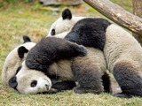 Giant Panda Bear cubs playing
