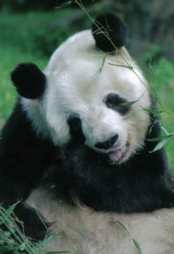 Giant Panda Bear eating