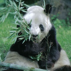 Giant Panda Bear germany eating bamboo