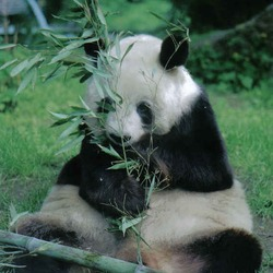 Giant Panda Bear germany yan yan berlin