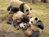 Giant Panda Bear group playing