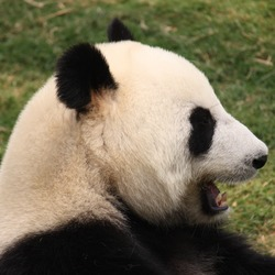 Giant Panda Bear profile laugh