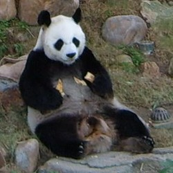Giant Panda Bear relaxing AnAn