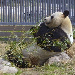 Giant Panda Bear relaxing eating