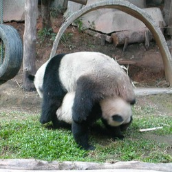 Giant Panda Bear tumble play