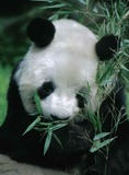 Giant Panda Bear Photo Gallery
